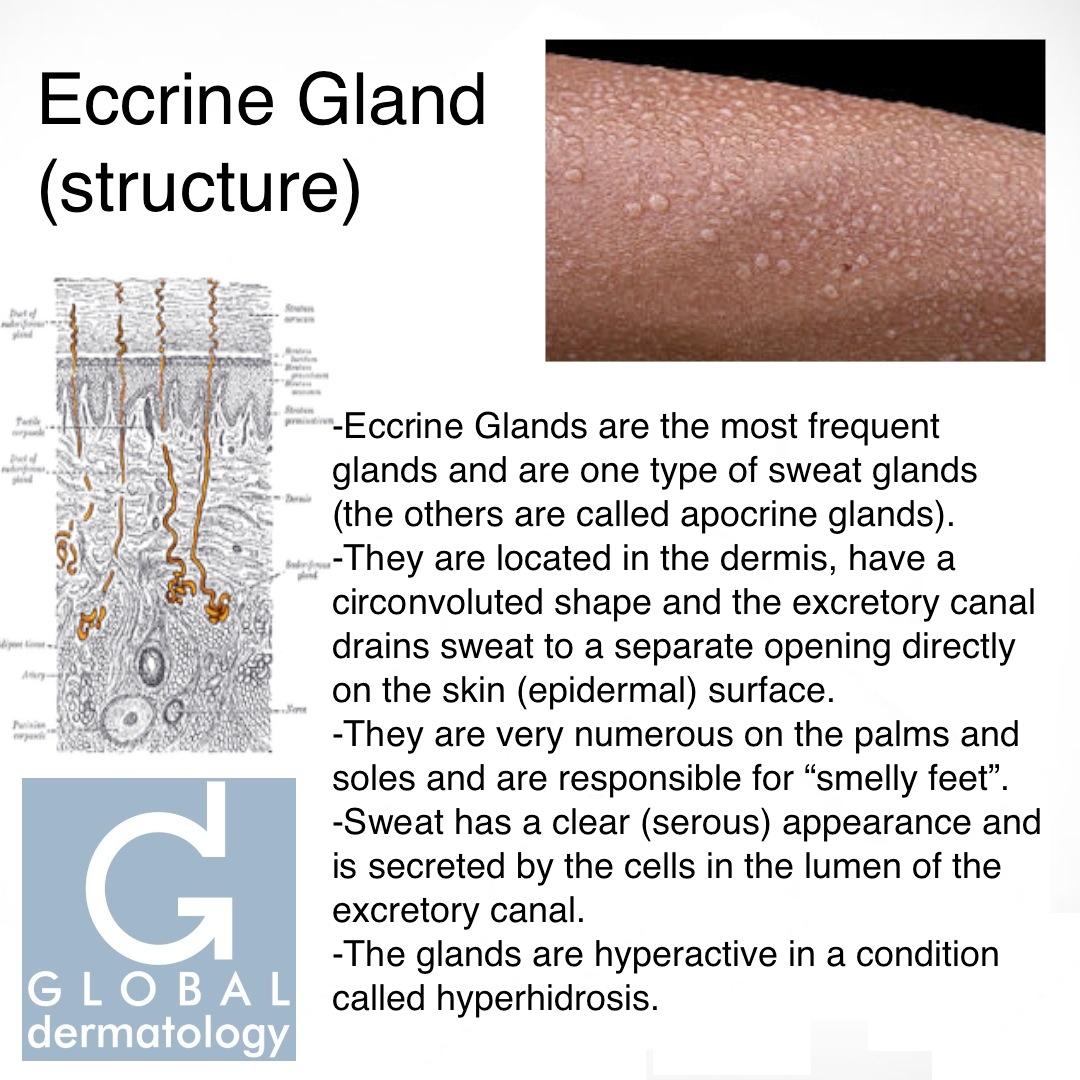 Global Dermatology Eccrine Gland Structure Instagram